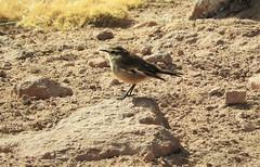 Life Bird: Bar-Winged Cinclodes (Cinclodes fuscus) (Ruby 2417) Tags: life lifer rare rarity cinclodes bird wildlife nature andes atacama chile marsh wetlands bog peatland peat