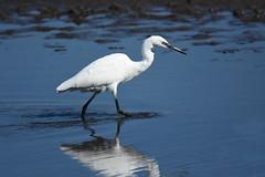 Little Egret (Pam P Photos) Tags: littleegret bird rspblodmoor