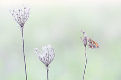 Three flowers and a butterfly (roelivtil) Tags: lookingcloseonfriday three butterfly fritillary zilverenmaan smallpearlborderedfritillary