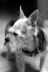 De  perfil... ¡por favor! (Konakilo) Tags: canoneos20d smcpentaxa14 dog perro pet chorkie
