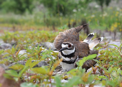 Killdeer diversionary display (WinRuWorld) Tags: paratrepsis diversionarydisplay distractiondisplay bird killdeer charadriusvociferus charadriidae charadriiformes fauna vertebrate usa northamerica nature wildlife plover pa pennsylvania outside killdeerparatrepsis dof depthoffield canon canonphotography summer