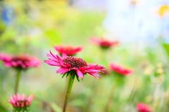 Fatal Attraction (Kei Edamatsu) Tags: flower flowers nature garden echinacea magenta