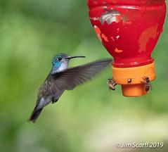 Andean Emerald (Jim Scarff) Tags: amaziliafranciae andeanemerald hummingbirds pomacochas amazonas peru