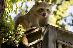 Blonde Raccoon (pointnshoot) Tags: lakesidepark raccoon blonderaccoon