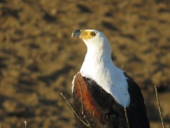 African Fish-Eagle on his look-out post (Pixi2011) Tags: birds birdsofprey krugernationalpark southafrica africa wildbirds nature coth coth5