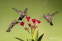 Hummingbird Buffet_T3W5706_36_54 (Alfred J. Lockwood Photography) Tags: alfredjlockwood annashummingbird composite photomanipulation birdsinflight flower buffet morning sedona arizona