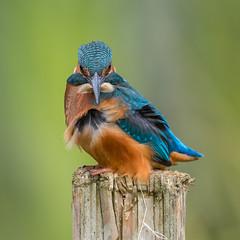 Kingfisher (Glenn.B) Tags: farmoorreservoir nature oxfordshire wildlife kingfisher alcedoatthis bird avian naturereserve
