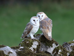 Young Barn Owls (717Images) Tags: owl owls barnowl yorkshire autumn young wildlife perching nature bird birdwatching