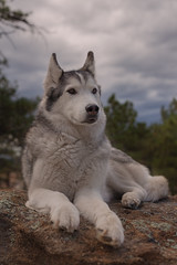 Aurora (Cruzin Canines Photography) Tags: animal animals canon canoneos5ds canon5ds canine 5ds eos5ds dog dogs aurora pet pets portrait husky huskies alaskanhusky siberianhusky outdoors outside nature naturallight naturepreserve palmerpark colorado coloradosprings