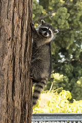 Raccoon (pointnshoot) Tags: lakesidepark raccoon