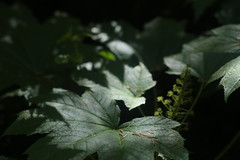 Gales Creek (Tony Pulokas) Tags: oregon galescreek spring leaf devilsclub blur bokeh forest oplopanaxhorridus oplopanax tilt flower