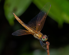 A young male Crimson Dropwing dragonfly (js19pv) Tags: dragonfly odonata