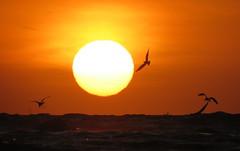 IMG_0036y (gzammarchi) Tags: italia paesaggio natura mare ravenna lidodidante alba sole animale uccello volo stormo