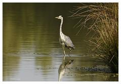 Héron cendré - Ardea cinerea - Grey Heron (Pierre Crétu) Tags: héroncendré ardeacinerea greyhéron pélécaniformes ardéidés zoneshumides marais étangs lacs rivières domainedesoiseaux mazères ariège occitanie
