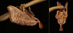 MUGSHOT - Cup Moth (Scopelodes sericea, Limacodidae), female (John Horstman (itchydogimages, SINOBUG)) Tags: china macro cup collage insect mosaic mugshot yunnan entomology itchydogimages sinobug brown black moth lepidoptera sericea limacodidae scopelodes scopelodessericea tweet
