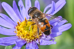 Syrphidae Eristalis tenax sur une (on an) Aster (A_Decostre) Tags: syrphidae eristalis pertinax aster hoverfly sirphe diptera inseccte insect