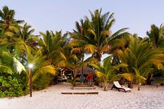 20190912-26-Coconut trees (Roger T Wong) Tags: 2019 aitutaki cookislands pacific pacificisland rogertwong sel24105g sony24105 sonya7iii sonyalpha7iii sonyfe24105mmf4goss sonyilce7m3 beach coconut coconutpalms coconuttree holiday island travel tree