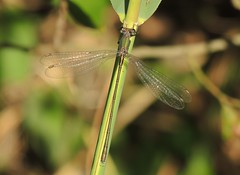 Western Willow Emerald (Lestes viridis) Male (Rezamink) Tags: lestesviridis westernwillowemerald dragonflies odonata uk chalcolestesviridis
