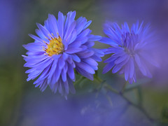 Blue Beauty (shawn~white) Tags: blue flower floral michaelmasdaisy macro beauty closeup garden bokeh peaceful charm glowing dreamy pure allure elegance purity fujifilmxt2 ©shawnwhite rich simplicity