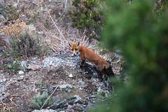 Fox (By Corsu) Tags: fox renard canon eos 5d mk4 by corsu flickr nature animal faune corse corsica santopietrodivenaco animaux sauvages wild animals