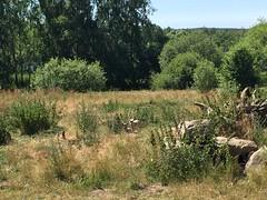 Ulveunger - arktisk ulv (Biker-Torben) Tags: 2019 july dyr ulv