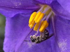 Bee (Boobook48) Tags: bee plant flora flower geelong victoria purple pollen stamen yellow kangarooapple solanumlaciniatum solanaceae lasioglossumcalophyllae chilalictuscalophyllae