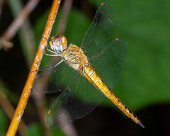 A Wandering Glider dragonfly (js19pv) Tags: dragonfly odonata