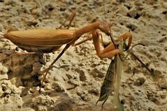 la mante religieuse déjeune (Patrice de Saint André) Tags: insecte nature campagne faune