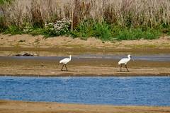 Spoonbills (Dave Bickley) Tags: spoonbill wader framptonrspb lincolnshire birds shorebird fujixt3 fuji