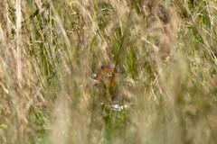 Faisan (florian.miry) Tags: faisan bretagne landes ornithologie oiseau