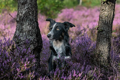 looking (The Papa'razzi of dogs) Tags: lyng landscape outside pet nature dog bordercollie outdoor hund frisbee animal schneverdingen lowersaxony germany