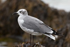 Laughing Gull in winter plumage (RubénRamosBlanco) Tags: naturaleza nature animales wildlife aves birds laughinggull gaviotareidoraamericana leucophaeusatricilla leuatr adulto adult verano summer sandwich mass usa