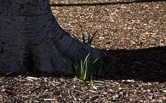 Elephant Grass (Padmacara) Tags: australia perth d7100 nikkor18140 plant tree grass
