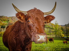 Portrait vache! (balese13) Tags: auvergne canon cantal mandailles s3is balese cow f40 green powershot salers vache vert yourbestoftoday 250v10f