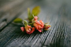Three rose buds (Inka56) Tags: lookingcloseonfriday three fridayflora roses miniroses woodtable supertakumar255 oldlens vintage closeup manualfocus
