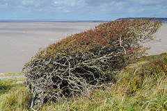 Extreme Hawthorne gardening! (Macro light) Tags: nationaltrust thesea westcountry breandown brean winds nature hawthorn windblowntrees westonsupermare bristolchannel