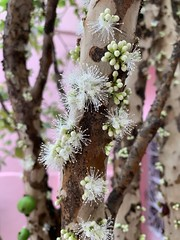The Brazilian Grapetree in Bloom, São Caetano do Sul, SP, Brazil. (ER's Eyes On a Break. I'll be back in January. Bes) Tags: thefamilymyrtaceae thebraziliangrapetree emflor inbloom primavera spring scs casa lar home town cidade birthplace hometown grandeabc sanca sãocaetanodosul sp sãopaulo brasil brazil abc azulão bee abelha animal flowers flores tree árvore fruta fruit jabuticabeira jabuticaba braziliangrape