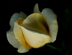 DSC06696 (Argstatter) Tags: blume rose gelb flower bokeh natur pflanze blüten makro