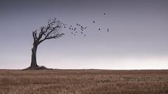 Rihanna Tree flocking birds (graham.k.kenny) Tags: rihanna rihannatree bangor ireland tree birds