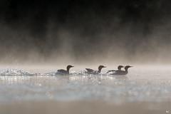 ''La course!'' Grand harle-Common merganser (pascaleforest) Tags: canada quebec faune wildlife wild nature nikon passion canard duck animal bird oiseau