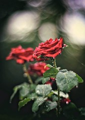 red rose drops (Angelo Petrozza) Tags: red rose drops rosa goccioline bokeh revuenon55mmf12 manuallens pioggia rain fiori urban flower folgie leaves angelopetrozza