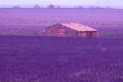 P1140372 (alainazer) Tags: valensole provence france fiori fleurs flowers fields champs ciel cielo sky colori colors couleurs lavande lavanda lavender maison house casa pierres stones pietra piedras