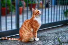 Silvestro - gatto di strada 2 / Sylvester - street cat 2 (Eugenio GV Costa) Tags: da fare gatto cat gatti cats animal animali domestici