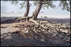 11th of May 2019 (Paul of Congleton) Tags: may 2019 derwentwater keswick cumbria uk lakedistrict shore trees roots water lake olympus om4ti 35mm colour negative film