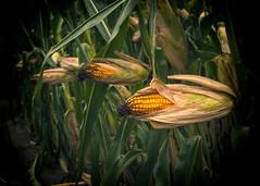 2_1 (KRR_3) Tags: dof bokeh huawei p30pro corn field