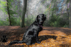 GOPR6686_20190910_105126 (KJvO) Tags: dog flatcoatedretriever hond pipa questionsflightoneinamillion animal blackdogsrule dier dogadventures flatcoataddiction flatcoatedlovers flatcoatedretrieversofinstagram flattiemoments flattieoftheday freestyleretrievers instadogs retrieversofinsta
