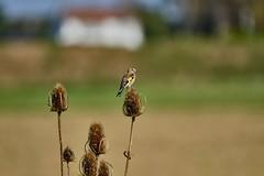Goldfinch on teasel (Dave Bickley) Tags: goldfinch teasel finch framptonrspb lincolnshire birds fujixt3 fuji