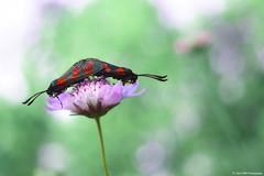 l'Accouplement du Sphinx bélier Sur La Scabieuse (Clém VDB / Tiogris) Tags: macro nature closeup butterfly bokeh papillon zygaenafilipendulae zygènedelaspirée lazygènedelafilipendule zygènedupieddepoule zygènedeslotiers
