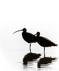 A Silhouette of Curlew (pootlepod) Tags: canon 1dxii 7dii wildlife curlew silhouette pair avian waders song water esturial riverexe exe estuaryraw male female nature natural fauna bill beakwing feather mono legs uk devon southwest rspb rspbsouthwest rspbexeestuary