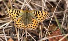 autumn queen (Simple_Sight) Tags: butterfly summer autumn leaves brown closeup macro insect fritillary